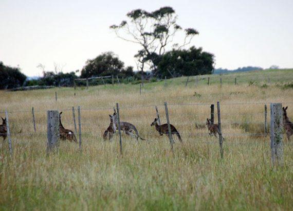 Kangaroos and Buckthoorn